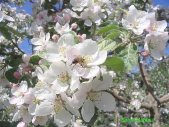 pollinisation d'une fleur de pommier par une abeille durant la floraison
