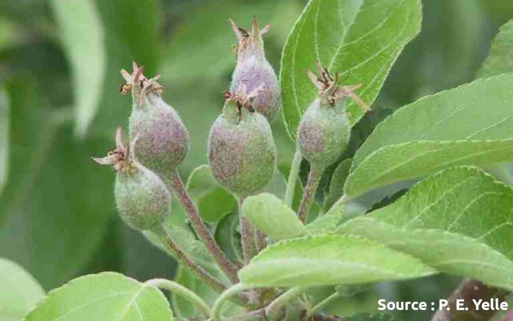 jeunes pommes à la nouaison