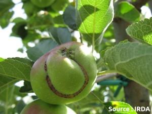 dégât d'hoplocampe de la pomme