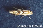mineuse marbrée (adulte)