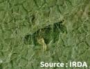 mineuse marbrée (larve)