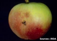 mouche de la pomme (adulte et dégât)