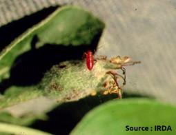 lygide du pommier (larve et dégâts)