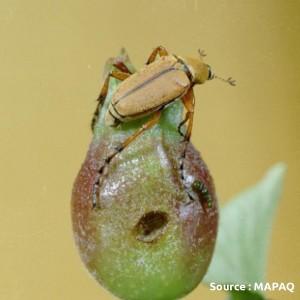 scarabée du rosier (adulte)
