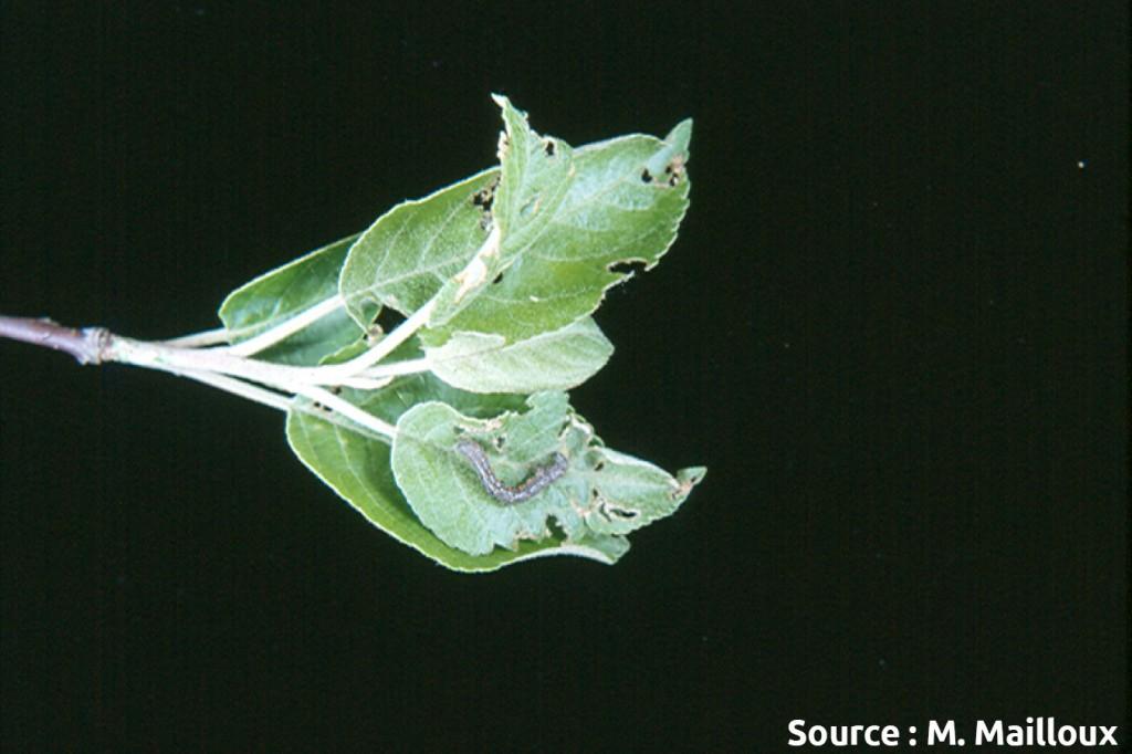 arpenteuse du printemps (larve et dégâts)