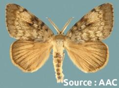 spongieuse (adulte)