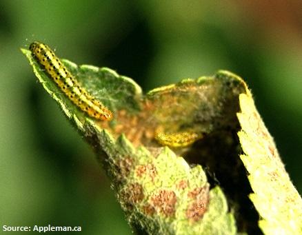 squeletteuse (larve)