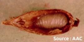 chalcis du pommier (larve et dégât)