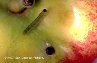 tenthrède de l'oseille (larve et dégât)