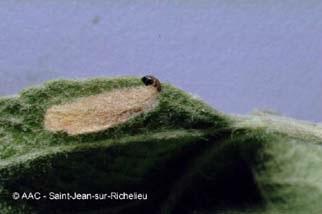 porte-case (larve)