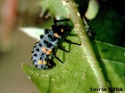 coccinelle (larve)