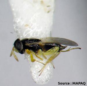 Aphelinus mali (guêpe chalcide)