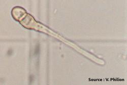 germination d'un ascospore