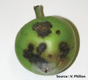 lésions de tavelure sur fruit