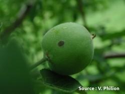 lésion de tavelure sur fruit