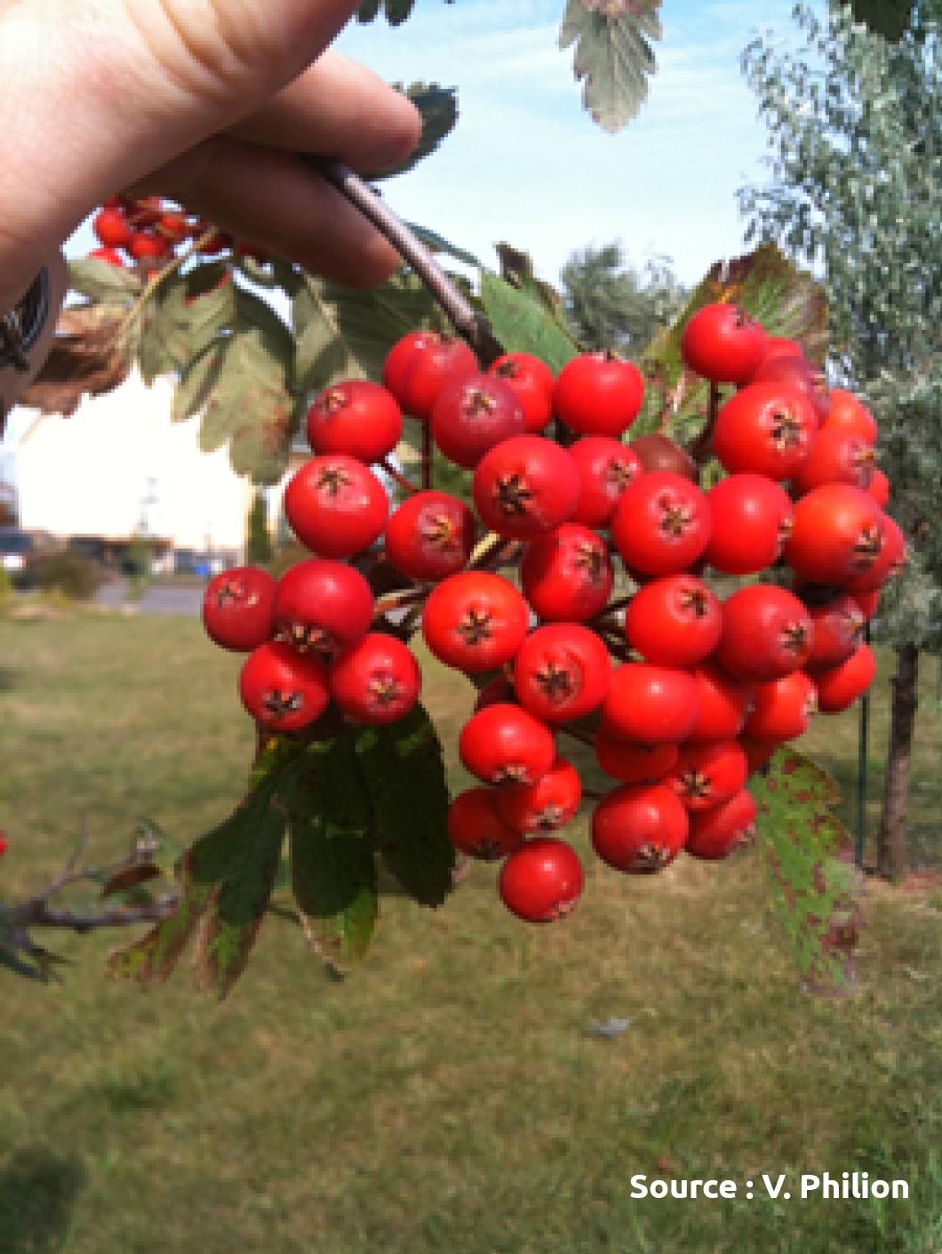 fruits de sorbier (cormier)