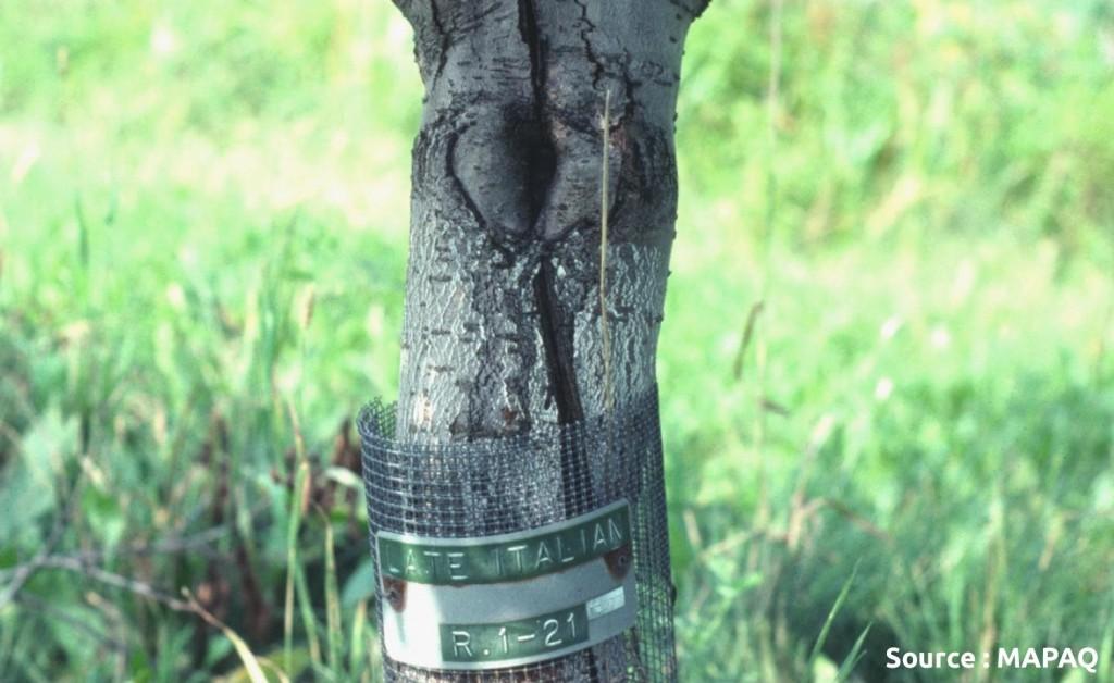 utilisation de treillis pour la protection du tronc contre le campagnol