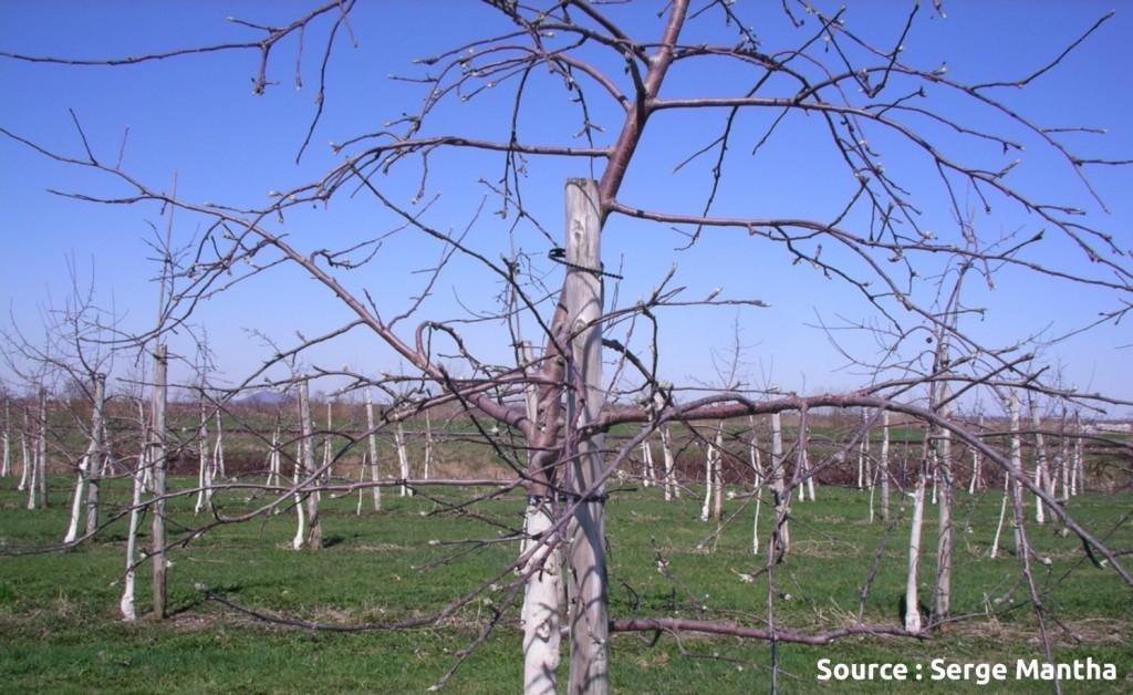 utilisation de répulsif pour la protection du tronc contre le campagnol