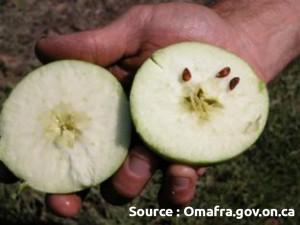 nombre de pépins: pomme coupée en deux