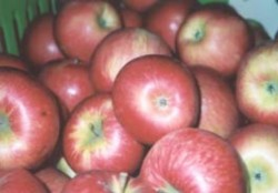 pommes Honeycrisp: patron de coloration a