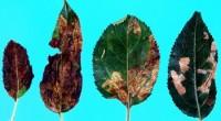 mineuse des feuilles du prunier (dégâts)