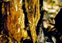 pyrale de la prune (larve et dégât)