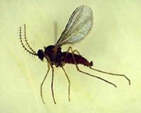 cécidomyie du pommier (adulte)