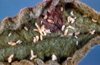 cécidomyie du pommier (larves et dégât)