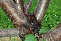 chancre bactérien des arbres fruitiers à noyau (branches)