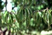chancre bactérien des arbres fruitiers à noyau (feuilles)