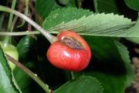 chancre bactérien des arbres fruitiers à noyau (fruit)