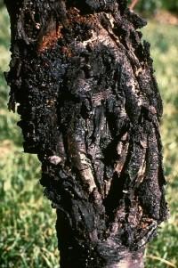 chancre cytosporéen (tronc)