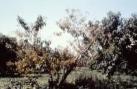 maladie X (arbre)