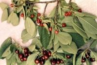maladie X (fruits)