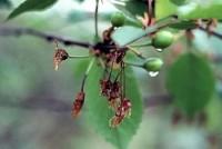 pourriture brune (fleurs)