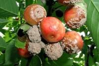 pourriture brune (fruits)