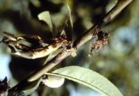 pourriture brune (tige)