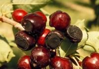 pourriture lenticellaire (fruits)