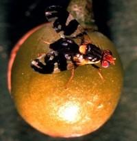 trypète noire des cerises (adulte)