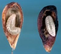 chalcis du pommier (larves et dégâts)