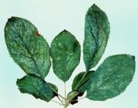 cicadelle blanche du pommier (dégâts sur feuilles)