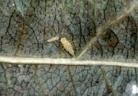 cicadelle blanche du pommier (larves)