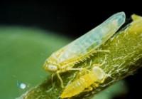 cicadelle de la pomme de terre (adulte et larve)