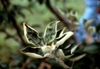 cicadelle de la pomme de terre (dégât)