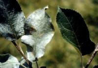 ériophyide du pommier (dégât)