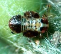psylle du poirier (larve)