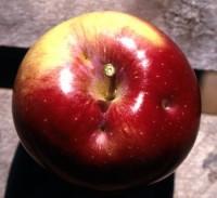 punaise terne (dégât sur pomme)