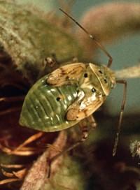 punaise terne (larve)