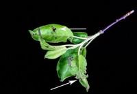 arpenteuse du printemps (larves et dégât)