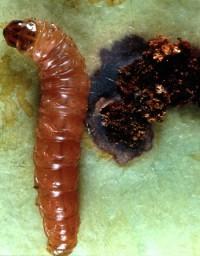 carpocapse de la pomme (larve et dégât)